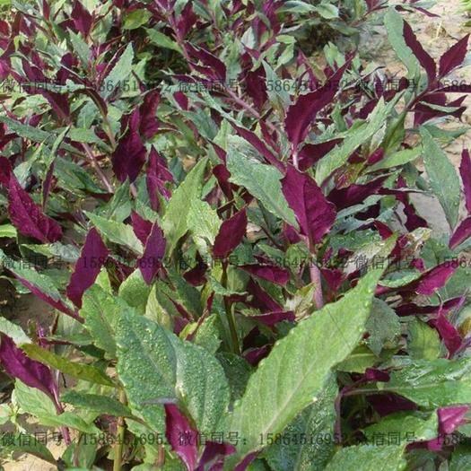 济南紫背天葵种苗 紫背菜苗 天葵多好生蔬菜 补血菜
