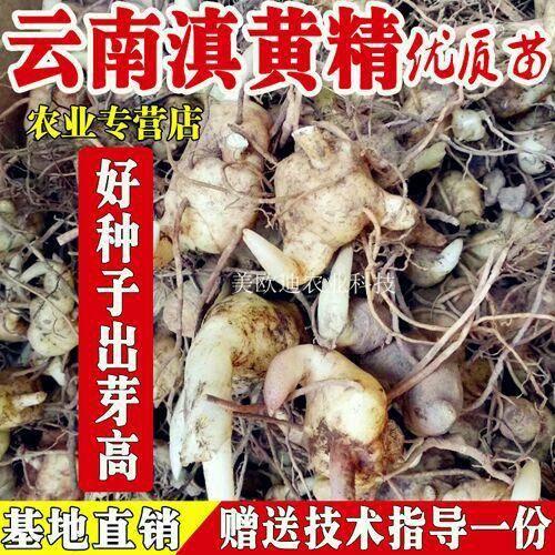 昆明西山區滇黃精 云南(苗)種植專用/基地直銷