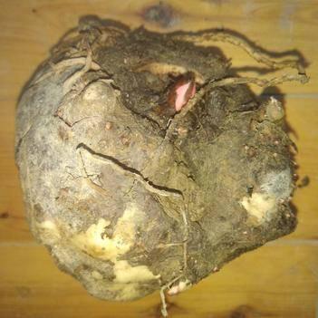 贵州农家新鲜花魔芋商品及花魔芋种子  口感好无农残产量高
