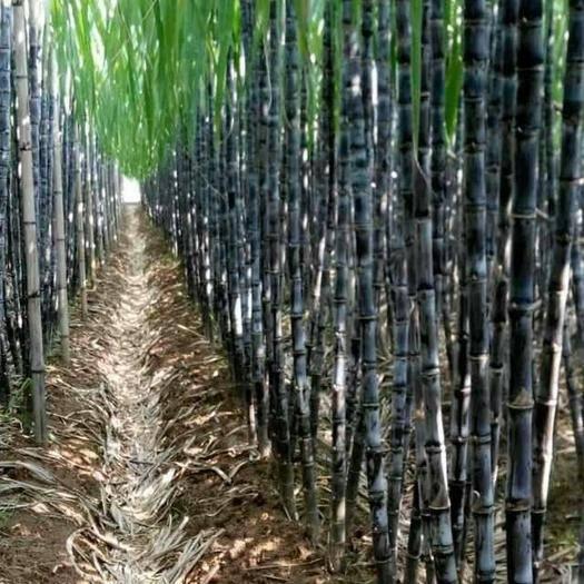 博白縣 現在黑皮甘蔗大量上市了歡迎老板前來采購。