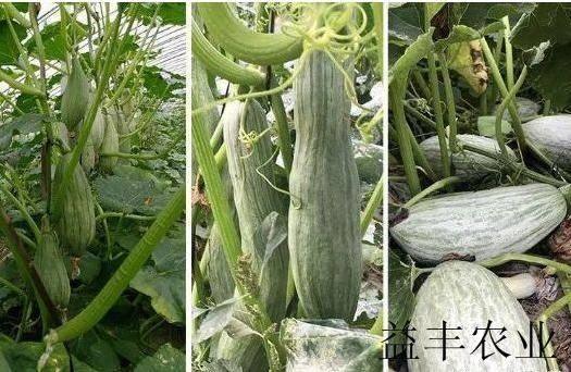 济南历城区木瓜种子 蜜瓜种子也叫丑瓜