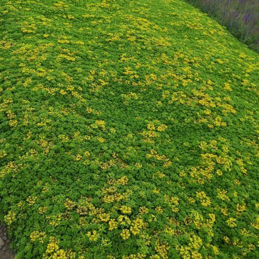 台安县景天三七种苗 实生苗 0.5米以下
