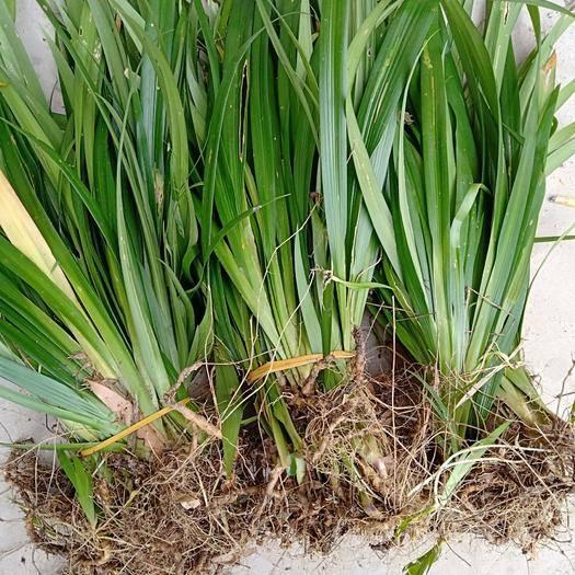 重慶萬州萹蓄  扁竹根   大量供貨
