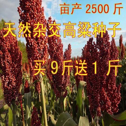 南昌南昌縣紅高粱種 紅高梁甜高梁紅纓子種子