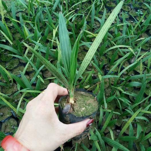 佛山加拿利海棗 棕櫚科植物