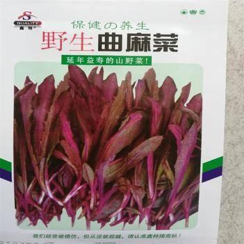 曲曲菜 曲麻菜种子