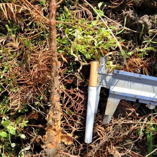 恩施土利川市 水杉苗,水杉地徑苗,地徑0.7-1公分,一年水杉苗