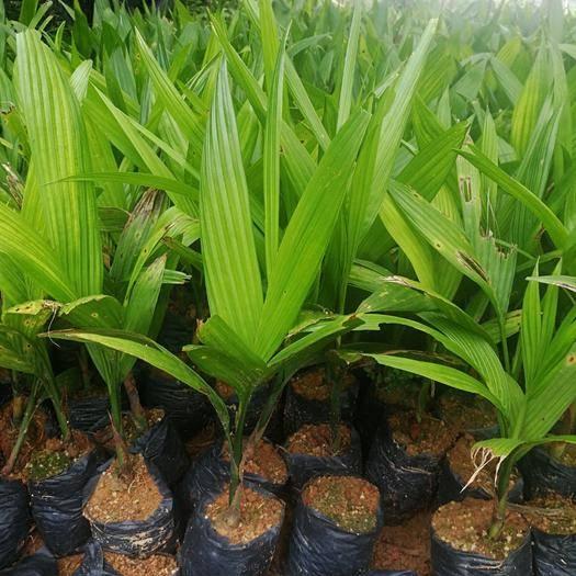 海南万宁槟榔种子