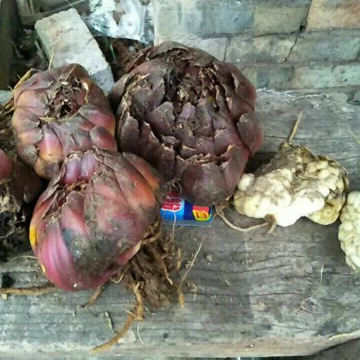 铜仁沿河土家族自治县百合种子  球种