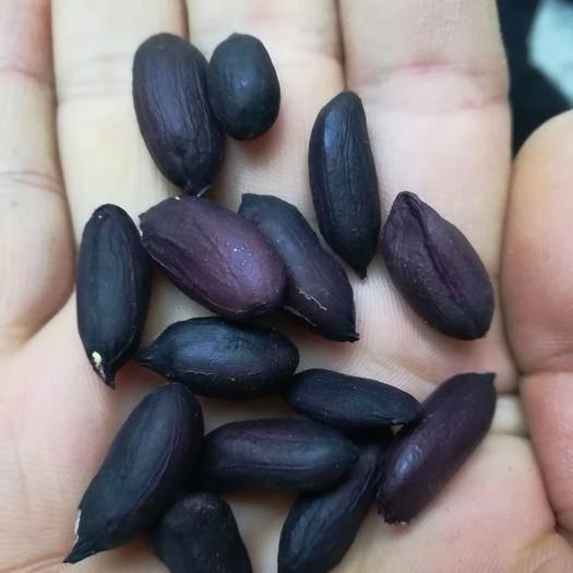 長垣縣 高產富硒黑花生種,老品種,產量高