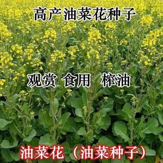 济宁嘉祥县紫油菜种子  亩产高 四季可种