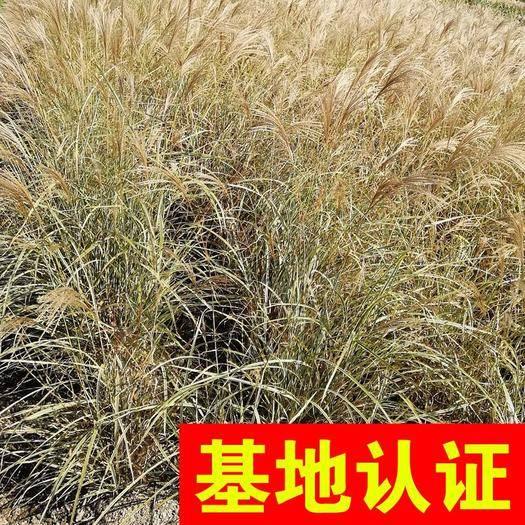 杭州花葉珊瑚 花葉芒 觀賞草 大量供應,基地認證