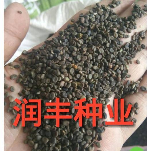 张北县黄芪种子 纯新籽