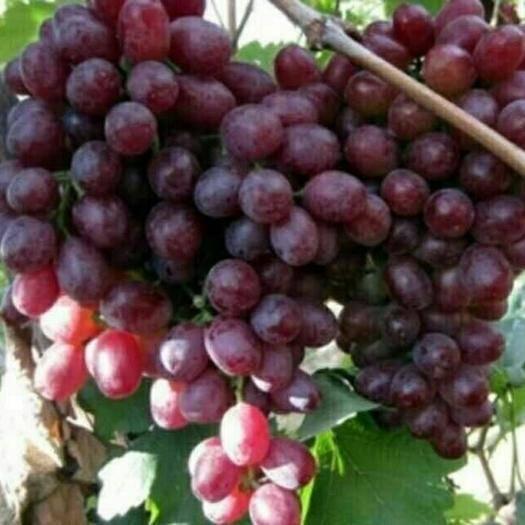 莱西市克瑞森无核葡萄 0.4-0.6斤 10%以下 1次果
