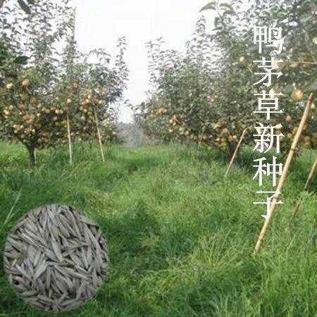 沭阳县鸭茅种子  牧草种子新采优质鸭茅