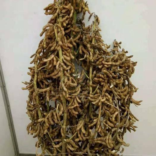息县 超高产大豆一一多荚一号