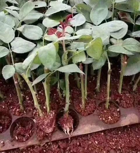 昆明呈贡区玫瑰苗 超级,艳粉,黑玫,法兰西,