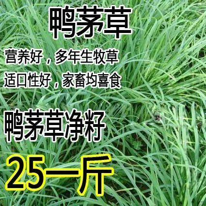 沭阳县鸭茅种子  果树草种子 果园草种