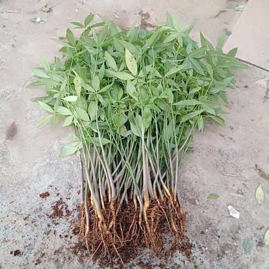 廣州荔灣區 苗圃直供優質發財樹小苗 盆栽四季常青綠植