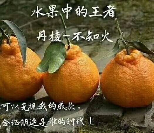 眉山丹棱县不知火 礼盒装