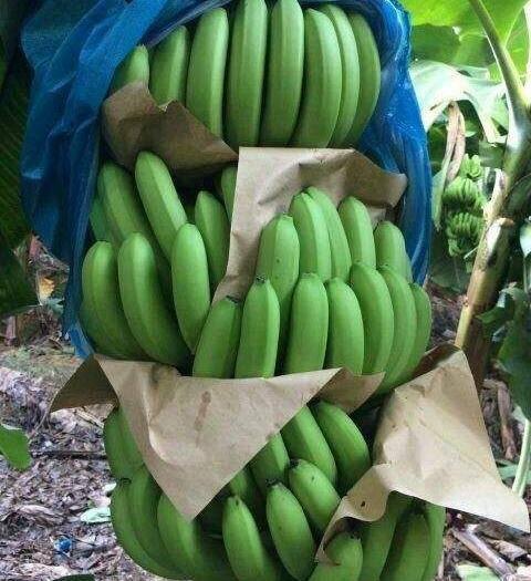 红河屏边苗族自治县河口香蕉 七成熟