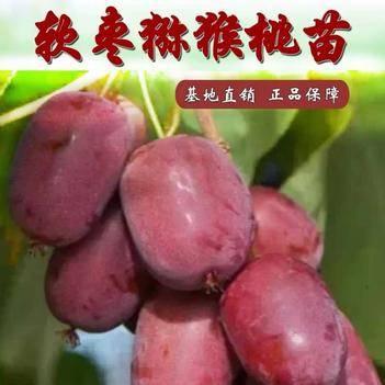 软枣猕猴桃苗  嫁接苗 当年结果包成活