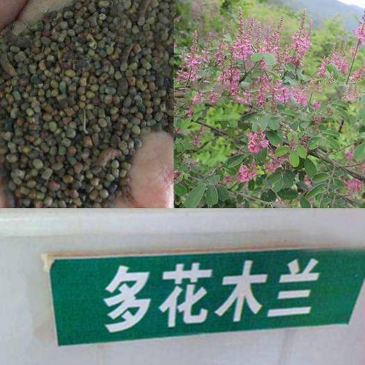 沭阳县多花木兰种子 蜜源植物