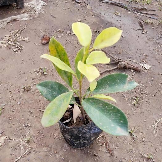 广州荔湾区 广州苗圃直供优质黄榕小袋苗 庭院绿化植物