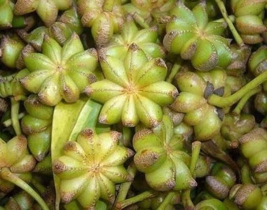 宿迁沭阳县八角种子  八角大茴香种子