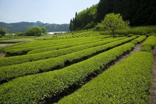 宿迁沭阳县绿茶种子