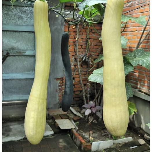 沭阳县吊瓜种子 批发零售