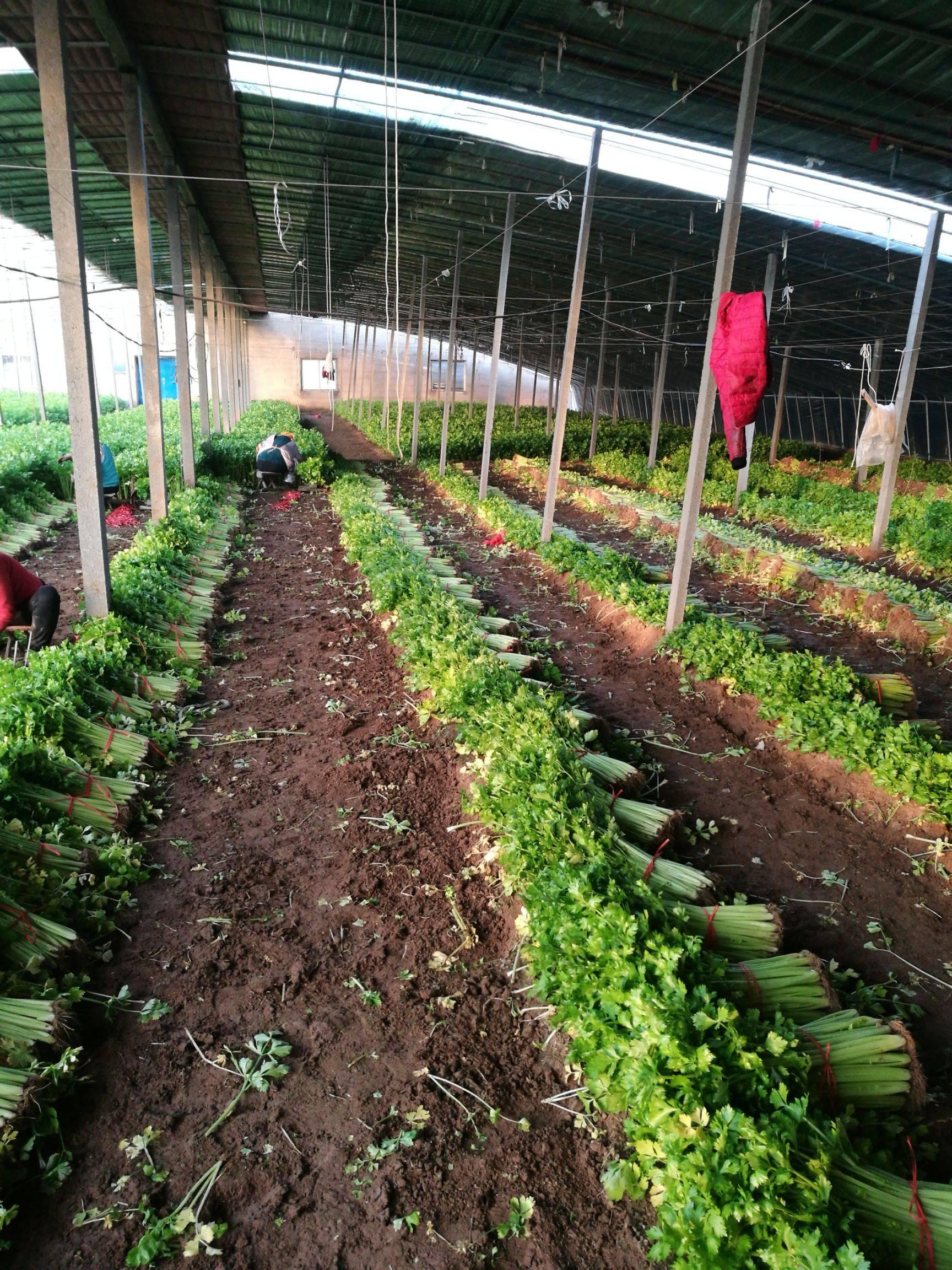 西芹 55~60cm 0.5斤以下 大棚种植