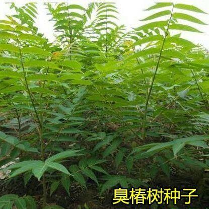 沭阳县臭椿种子