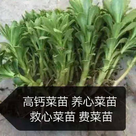 济南养心菜种苗