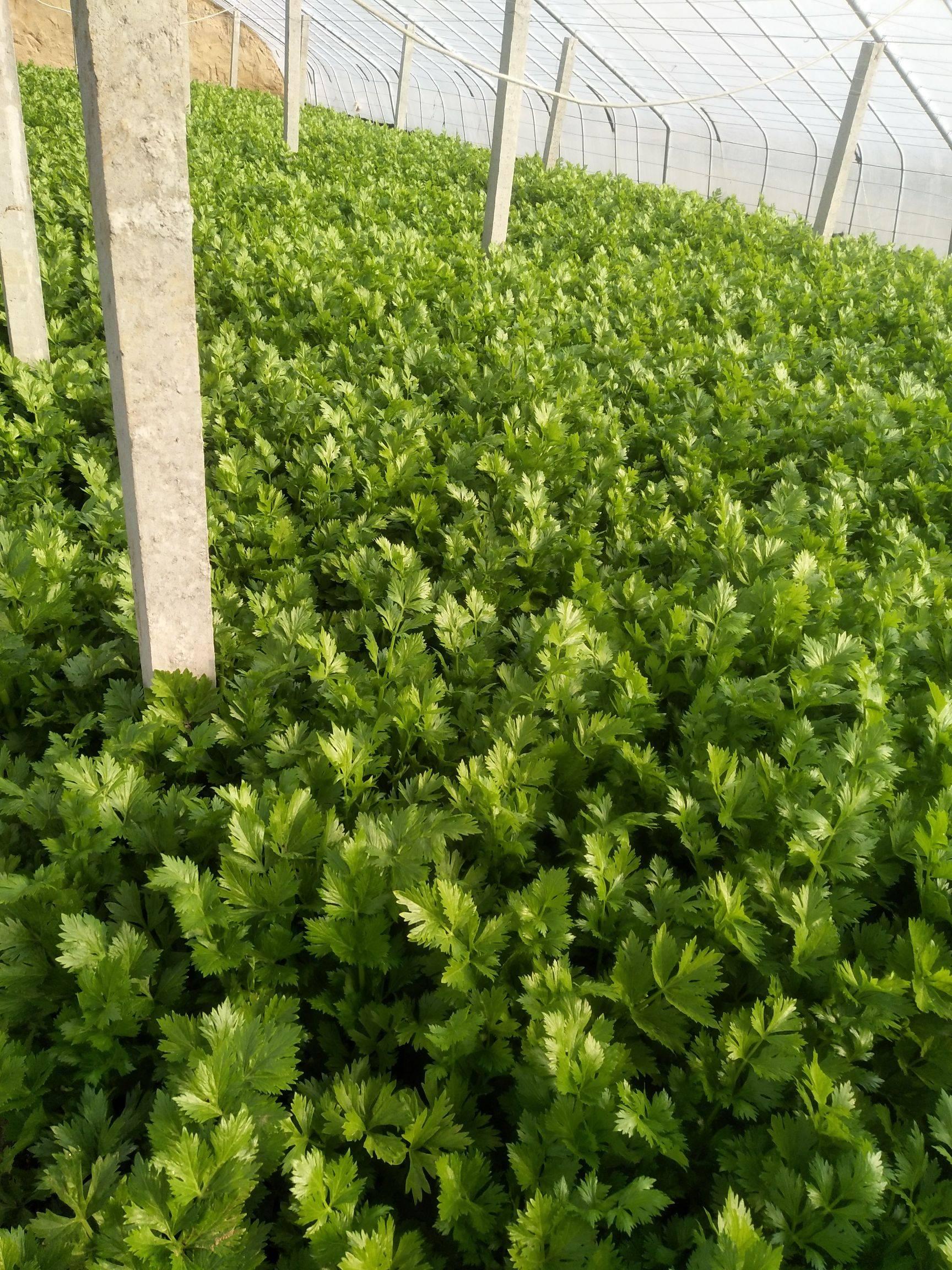 西芹 55~60cm 1.5~2.0斤 大棚种植