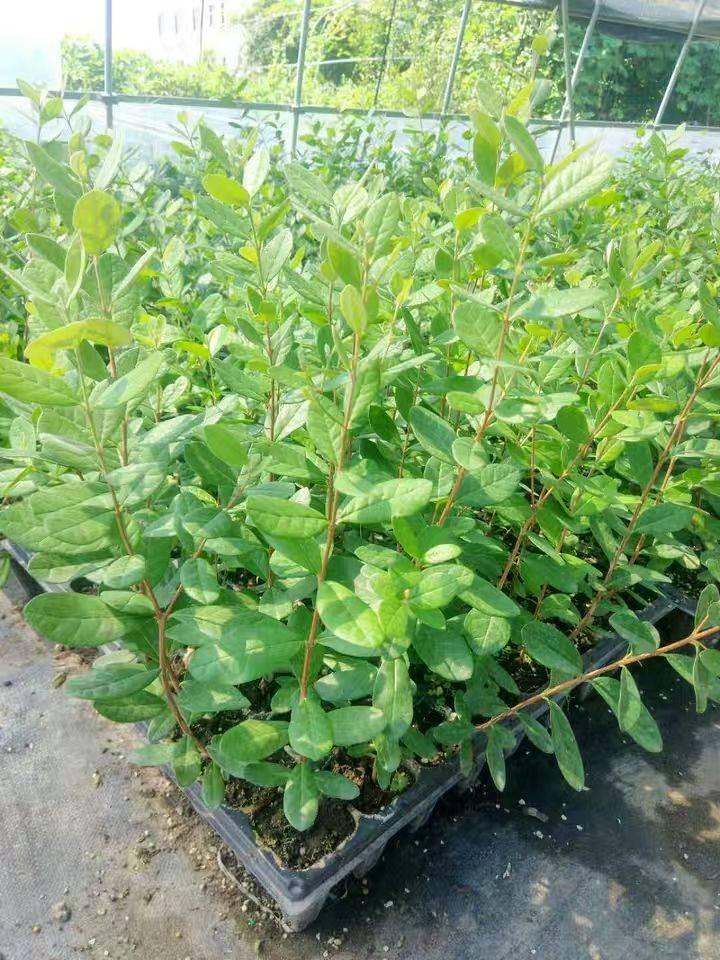菲油果苗 进口珍贵美味菲油果果树苗盆栽植物斐济果费约果毛象种苗带叶真苗