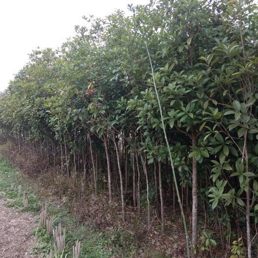 兴安县桂花树种子