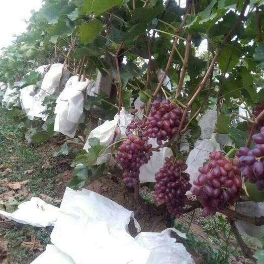 龙口市美国红提 1-1.5斤 5%以下 1次果