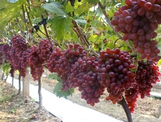 龙口市克瑞森无核葡萄 1.5- 2斤 5%以下 1次果