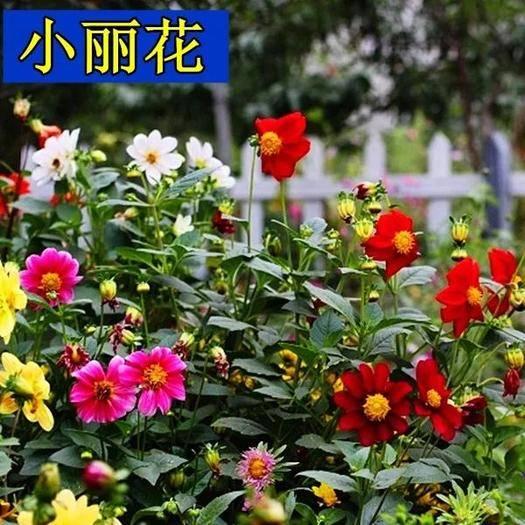 宿迁沭阳县小丽花种子  小丽花种子多年生年年