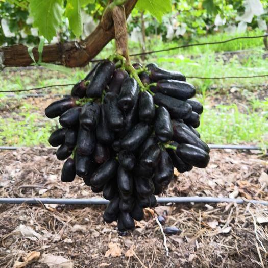 宾川县蓝宝石葡萄 1-1.5斤 5%以下 1次果