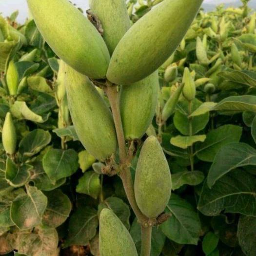安国市白薇 种子 一件代发  推荐