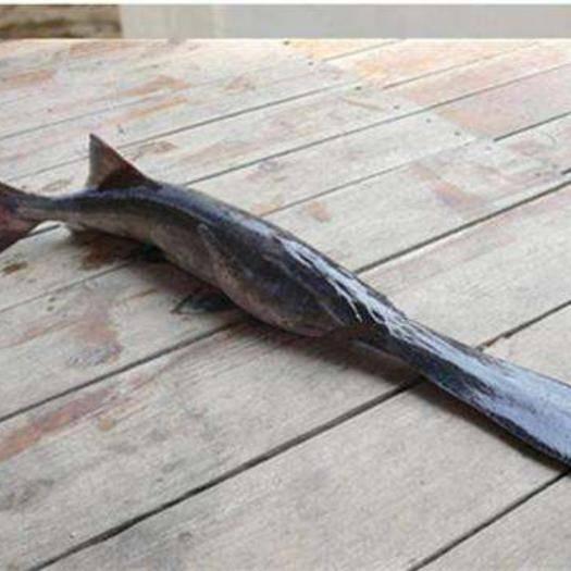 上海鸭嘴鲟 10-20cm 0.5公斤以下 人工养殖 鲜*水产