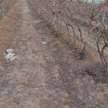 巨峰葡萄苗 萄葡苗葡萄树 淘汰葡萄树 占地葡萄树