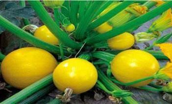 金珠西葫芦种子黄西葫芦种籽阳台盆栽蔬菜种子盆栽生吃水果特菜孑
