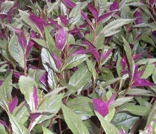 济南紫背天葵种苗 多年生绿色生长