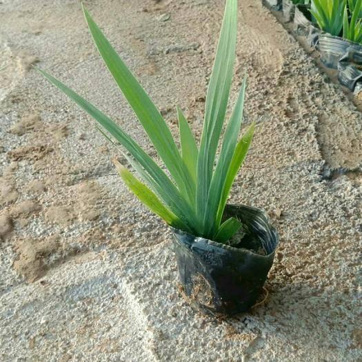 潍坊青州市鸢尾苗  盆栽容器苗