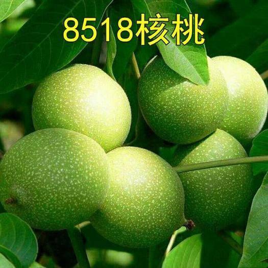 平邑县 核桃苗8518嫁接苗薄皮核桃树苗南方北方种植盆栽地栽果树苗包