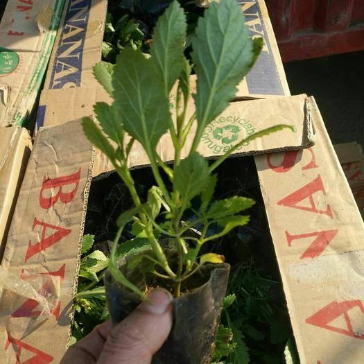 潍坊青州市护坡草种子  马鞭草盆苗花海用苗