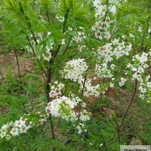 淮南凤台县 想致富吗?文冠果树苗国家补贴种植项目木本品种,大力推广种植。